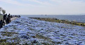「大阪まいしまシーサイドパーク」で、大阪湾が一望できる丘一面に咲き誇る「ネモフィラ」=16日、大阪市此花区