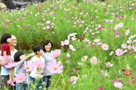 秋風に誘われるように見頃を迎えているコスモス=まんのう町吉野、国営讃岐まんのう公園