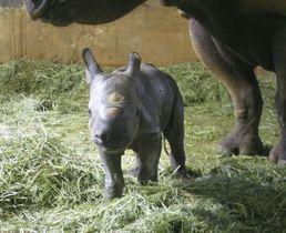 仙台市の八木山動物公園で誕生したクロサイの赤ちゃん=6日