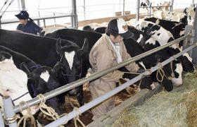 福島県飯舘村で酪農が再開され、牛舎に運び込まれた子牛=16日午後