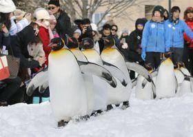 旭山動物園の人気イベント「ペンギンの散歩」のリハーサルで、観光客が見守る中、雪に覆われた園内を散歩するペンギン=12日、北海道旭川市