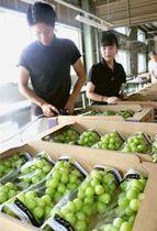 箱詰めされたシャインマスカット。韓国や中国でも栽培され、県内農家は海外展開を図る上で脅威になると危惧している=甲府市内(7月