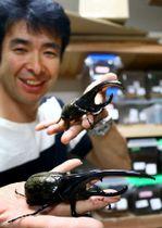 宮崎県延岡市が5月中旬からふるさと納税の返礼品に加えたヘラクレスオオカブト