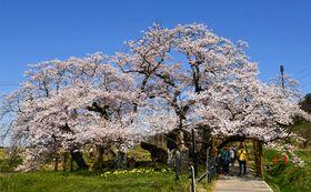 薄桃色の花が田園地帯に映える石部桜=18日正午ごろ