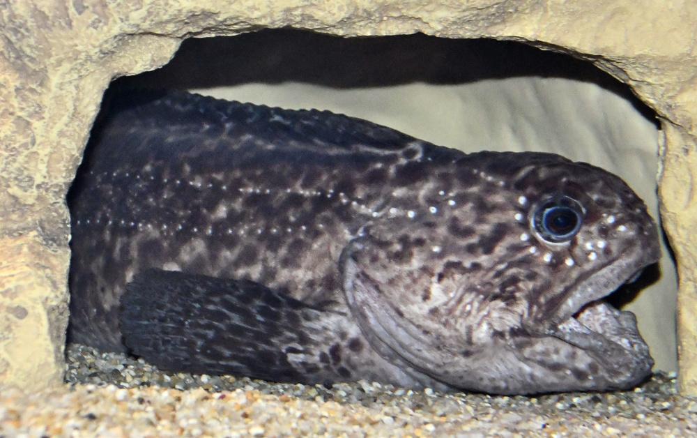 オオカミウオの幼魚。大人より顔つきが子どもっぽい