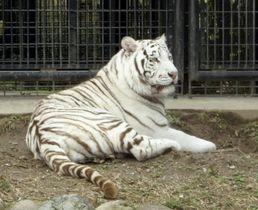 男性飼育員を襲ったホワイトタイガー「リク」(鹿児島市平川動物公園提供)