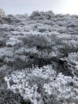 木々には霧氷が付着して白いサンゴ礁のよう