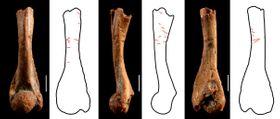 纒向遺跡から出土したツチガエルの上腕骨。同じ骨を別角度から撮影した。スケールバーは1ミリ(中村泰之琉球大博物館協力研究員提供)