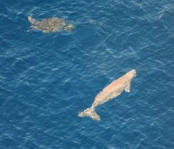 沖縄県名護市の辺野古周辺海域で確認されたジュゴン(右)(東恩納琢磨氏提供)