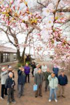 開花が宣言されたソメイヨシノの標準木=19日午前9時10分ごろ、八戸市館鼻公園