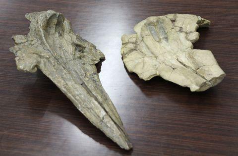 群馬県安中市で見つかったマイルカ科の化石=6月19日、群馬県庁