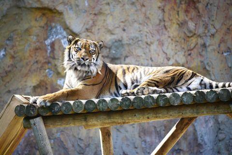 9日に大阪府岬町のみさき公園で死んだ雌のスマトラトラ「ラン」(同公園提供)