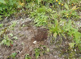 昨年8月に確認された高山植物の盗掘跡。中央に2つの穴が見える=北ア・燕岳の北に伸びる登山道脇で(安曇野市豊科郷土博物館提供)