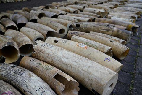 密輸押収の象牙9トンを粉砕処分