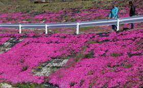 鮮やかに咲き誇るシバザクラ=平戸市大石脇町