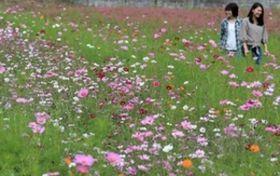 400万本のコスモス咲き始め たつのの休耕田