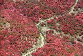 大阪府と奈良県にまたがる葛城山の山頂付近で見頃を迎え、山肌を緋色に染めるヤマツツジ=13日午後(共同通信社ヘリから)