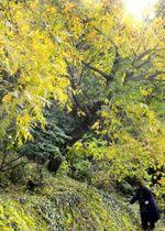 黄や赤色に紅葉したカイノキ(いの町鹿敷の土佐和紙工芸村「くらうど」)