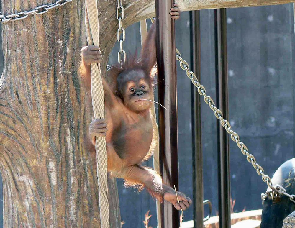 動具で遊ぶ2頭目の子ども「リリー」。生後7カ月のとき(市川市動植物園提供)