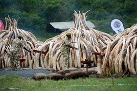 ケニアのナイロビ国立公園で、密猟者などから押収した象牙の山に火を付けるケニア野生生物公社の職員ら=2016年4月(共同)