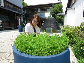 黒壁スクエア内の店舗前に鉢植えされているクローバー(長浜市元浜町)