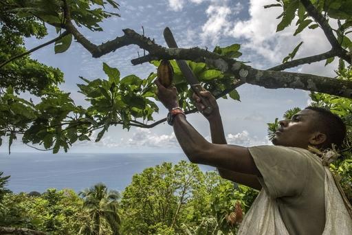 プリンシペ島にある農園で、熟したカカオの実を刈り取る従業員。奥はギニア湾=3月(共同)