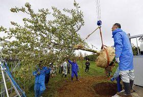 掘り起こしたふじの木をトラックに積む作業=20日正午、弘前実業高校藤崎校舎敷地内