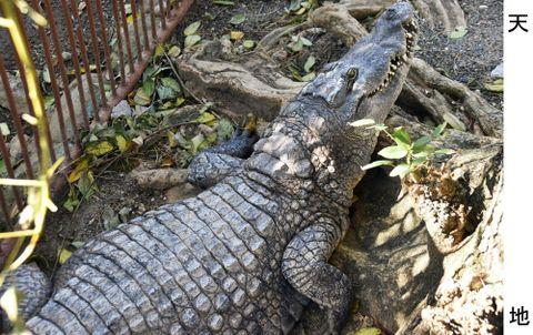 (499)大型の陸上動物も襲う ナイルワニ