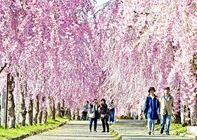 〔ふくしま・さくらだより〕日中線のしだれ桜 廃線ピンク繚乱