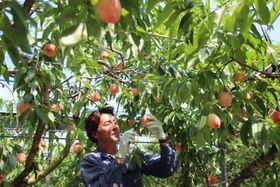 モモを収穫する福島慎司さん=南島原市深江町