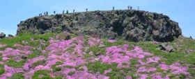 高岳山頂のミヤマキリシマの群落。「天狗(てんぐ)の舞台」の名がある後方の岩場で登山者たちが花見を楽しんでいる=5月27日