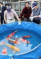 美しい模様の錦鯉が集まった品評会=20日、糸魚川市