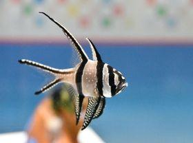 プテラポゴン・カウデルニィ」という「天の川天竺鯛」の方が、優雅でぴったりだ