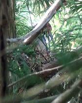 巣でひなに餌を与える雄のトキ=23日、新潟県佐渡市(環境省提供)