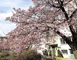 見頃を迎えたあたみ桜=熱海市の糸川沿い