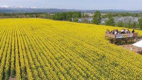 滝川菜の花
