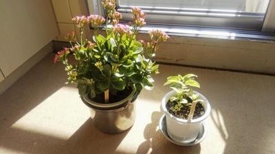 40年近くひきこもりだった男性は、ベランダで草花や野菜を育てていた。部屋にはきれいな花が咲いていた=2019年12月、横浜市金沢区