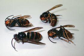 山口県防府市で見つかったツマアカスズメバチの成虫(環境省提供)