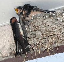 口を開けるひな鳥にえさを与える親ツバメ=6日、岐阜県多治見市で