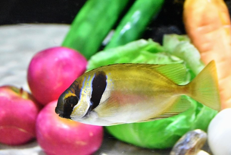 プラスチックの野菜には無関心なヒメアイゴ