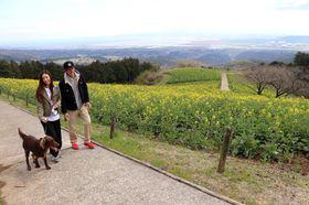 4月中旬ごろまで楽しめる菜の花=長崎県諫早市、白木峰高原