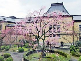 京都府庁旧本館の中庭中央で開花した「祇園しだれ桜」(京都市上京区)