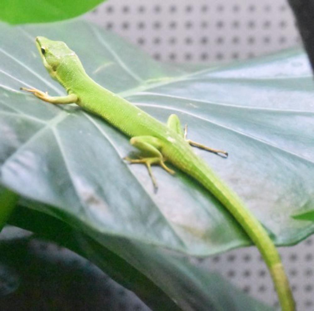 葉っぱの上のサキシマカナヘビ。尾が長く、写真に入りきらない