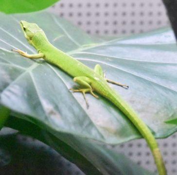 (503)あざやかな緑色の体 サキシマカナヘビ