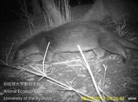 長崎県・対馬で2017年2月に赤外線カメラで撮影されたカワウソ(琉球大動物生態学研究室提供)
