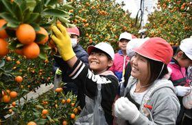 キンカンの収穫を楽しむ福島小児童