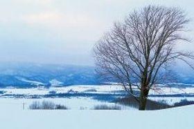伐採される前の「哲学の木」=2016年1月、上川管内美瑛町