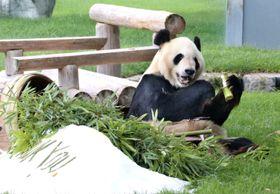 父の日に贈られた好物の竹を頬張る雄のジャイアントパンダ「永明」=17日、和歌山県白浜町