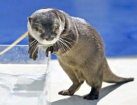 パフォーマンスをするコツメカワウソ=6月、東京・池袋のサンシャイン水族館