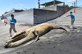 クジラの死骸を調べる京急油壺マリンパークの職員=22日午前11時45分ごろ、長沢海岸